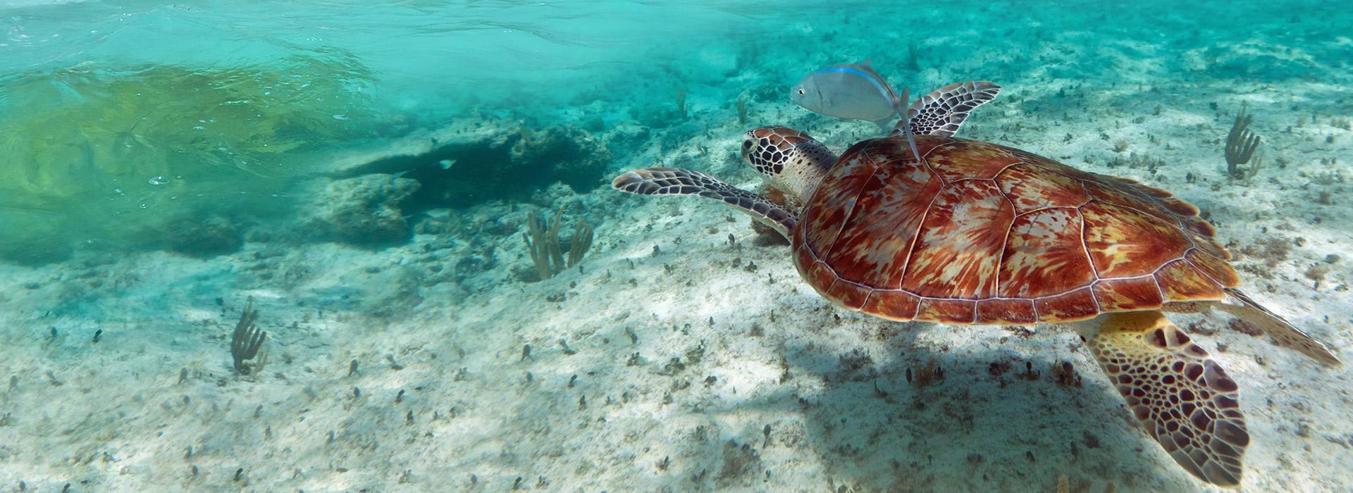 Tortuga En Mar Limpio